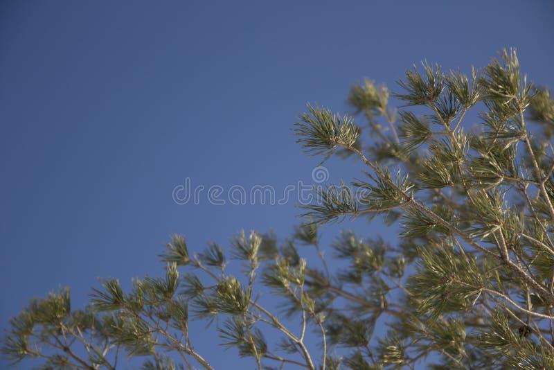 分支毛皮结构树 免版税库存照片