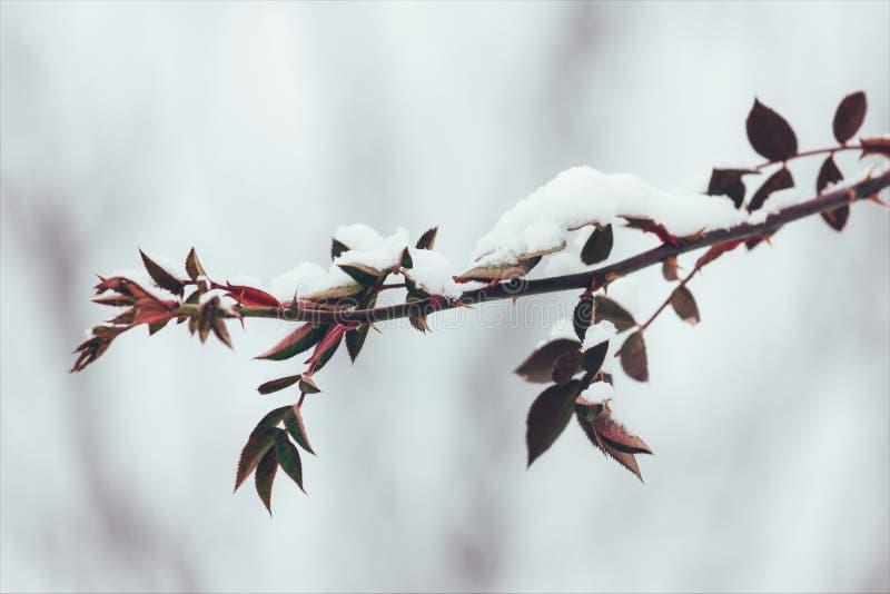 分支狂放上升了与刺和红色叶子在雪在冬天 特写镜头 免版税库存照片