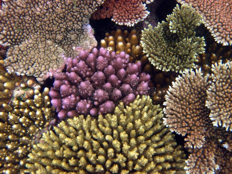 分支珊瑚。大堡礁 库存图片
