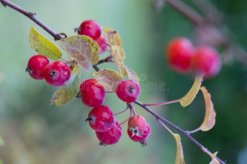 分支用在秋天的红色果子 免版税库存图片