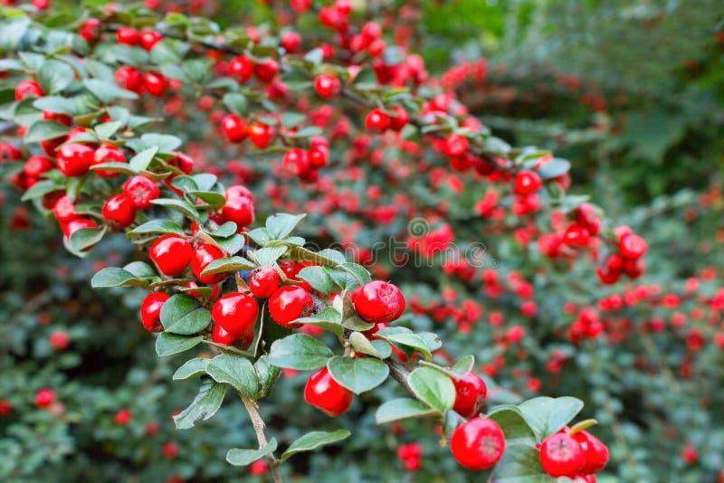 分支用成熟红色枸子属植物莓果 库存照片
