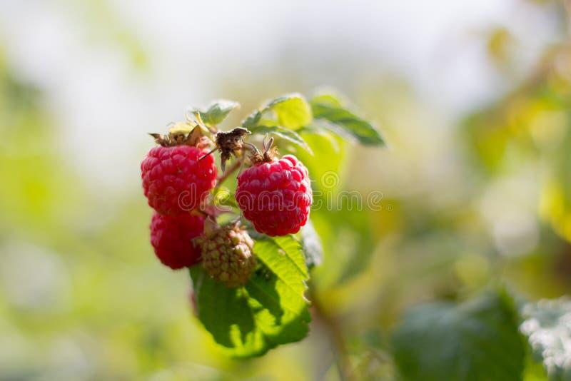 分支用成熟莓在庭院里 免版税库存照片