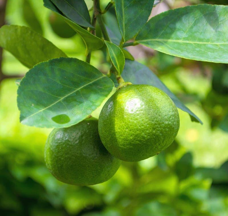 从分支的柠檬绿树  免版税库存照片