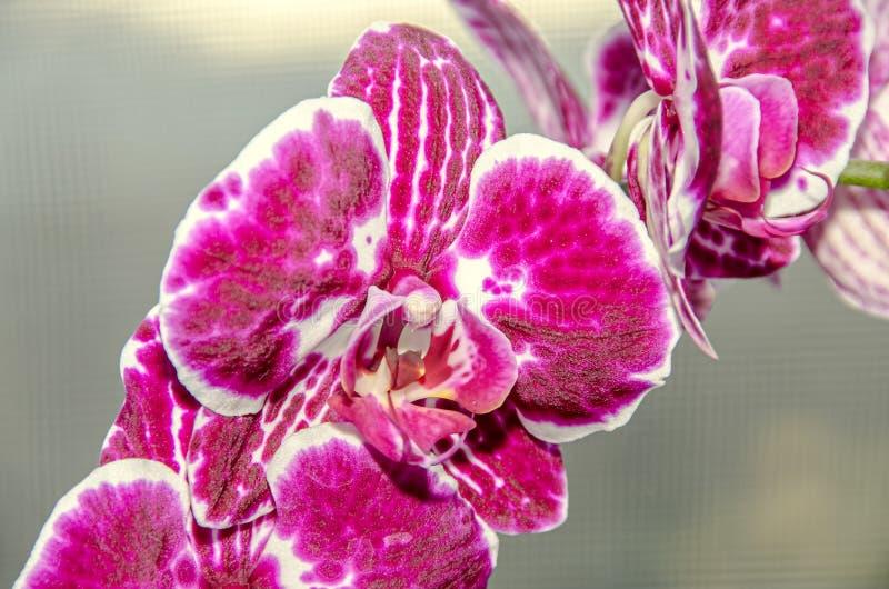 分支的桃红色紫色兰花关闭开花, bokeh 库存图片