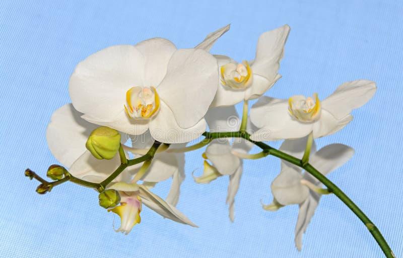 分支的白色兰花关闭开花,蓝色背景 免版税库存照片