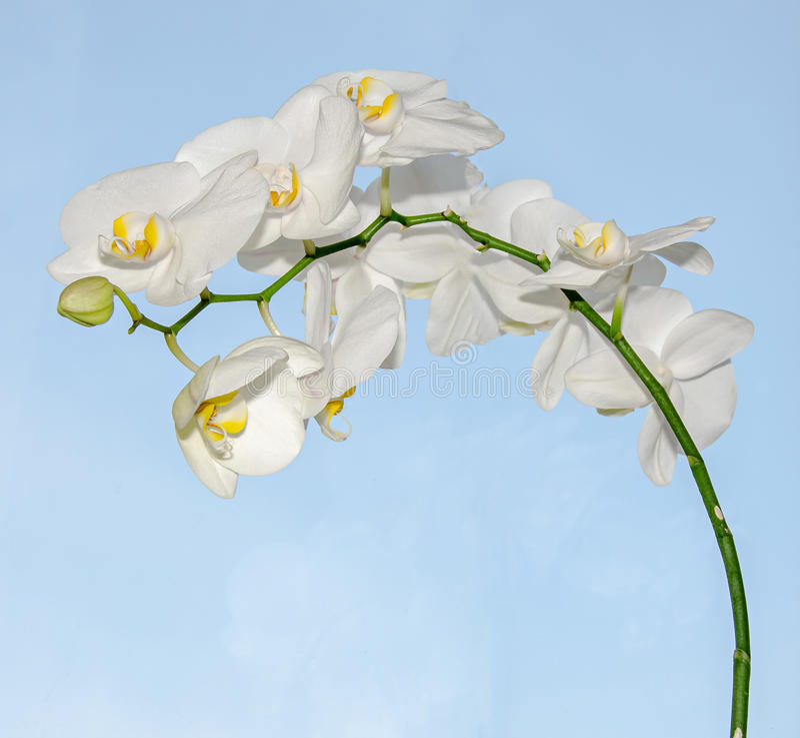 分支的白色兰花关闭开花,蓝色背景 免版税库存图片