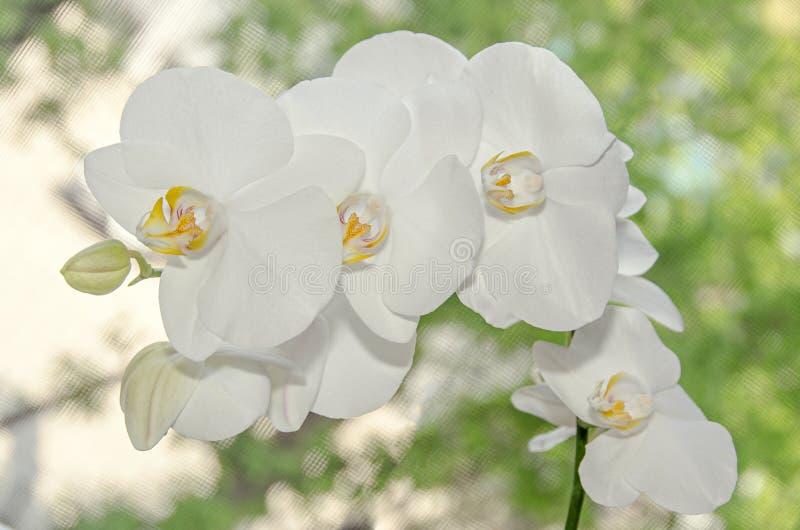 分支的白色兰花关闭开花,蓝色背景 库存图片