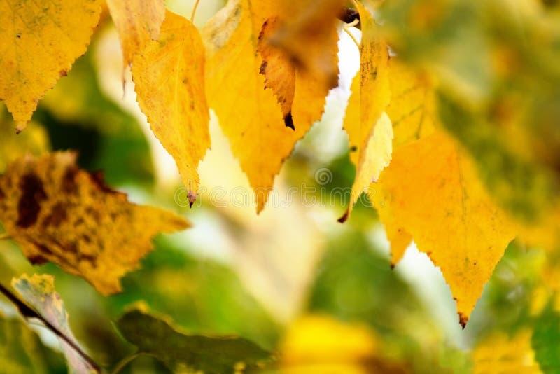 分支的被弄脏的图象与黄色秋叶的 库存照片
