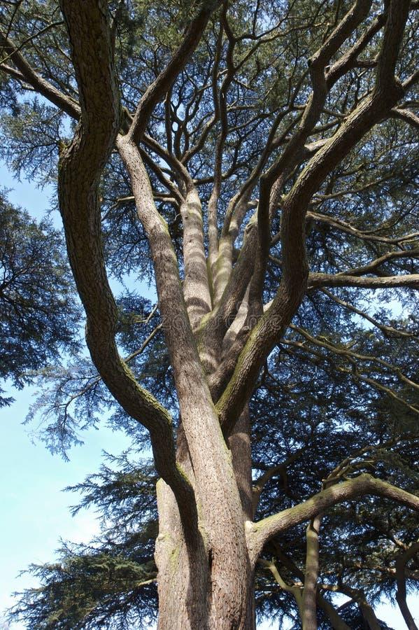 分支结构树被扭转的赤柏松 库存图片