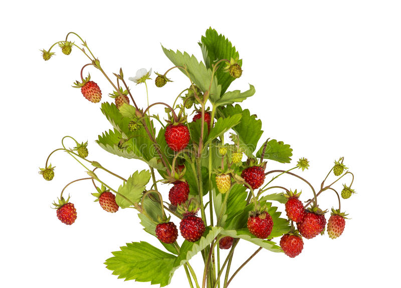 分支花束用在白色背景的成熟草莓 库存照片