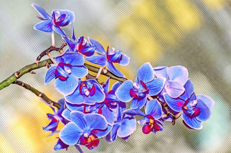 分支花的蓝色淡紫色兰花关闭,在黄色后面 免版税图库摄影