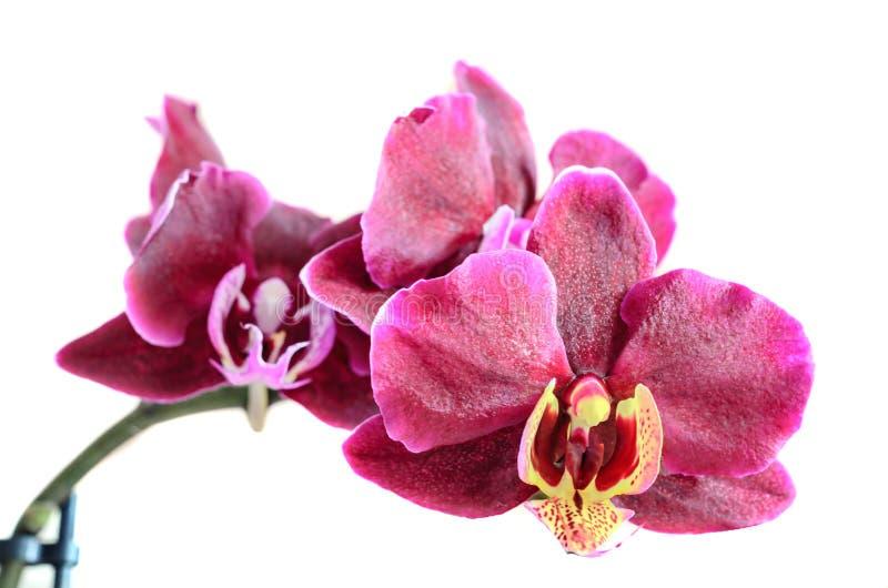 分支花的紫色兰花关闭,隔绝在白色背景 免版税图库摄影
