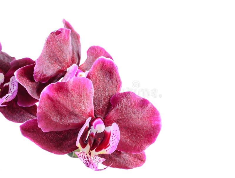 分支花的紫色兰花关闭,隔绝在白色 免版税库存照片
