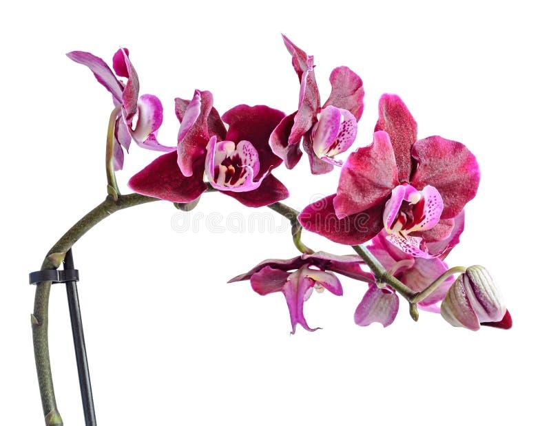 分支花的紫色兰花关闭,隔绝在白色 库存照片