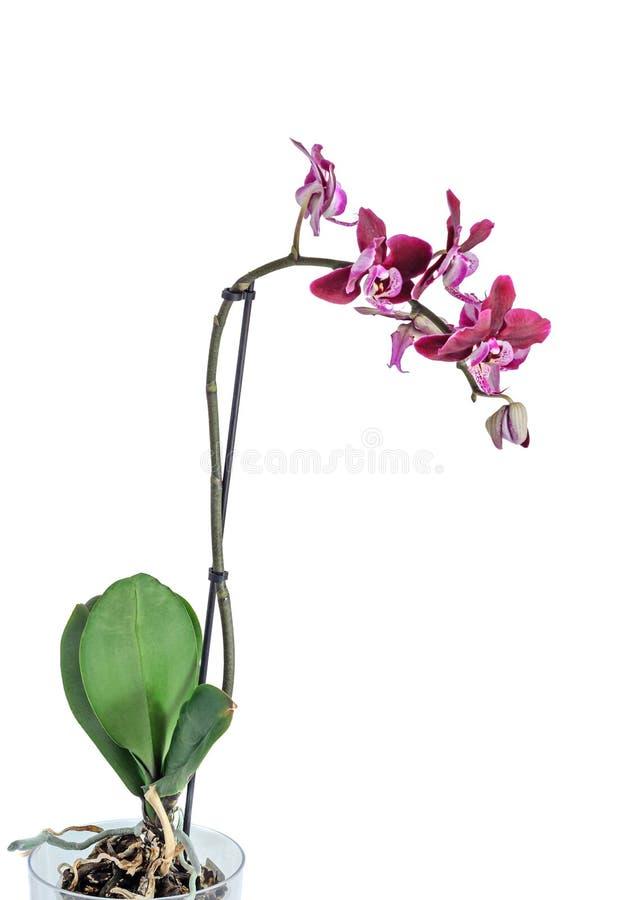 分支花的紫色兰花关闭,隔绝在白色 库存图片