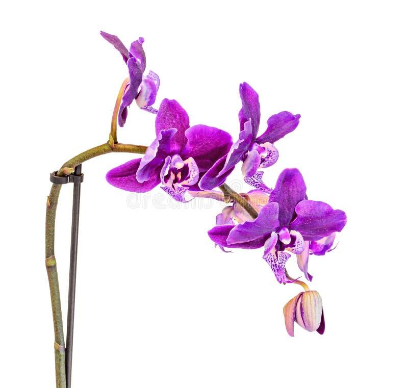 分支花的紫色淡紫色兰花关闭,隔绝在白色 库存图片