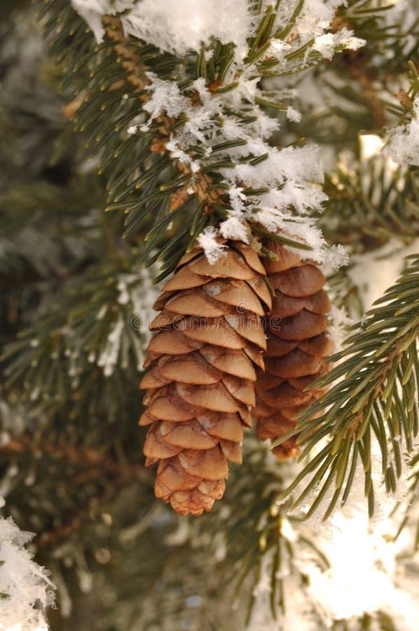 分支锥体包括的霜杉木云杉结构树 库存图片