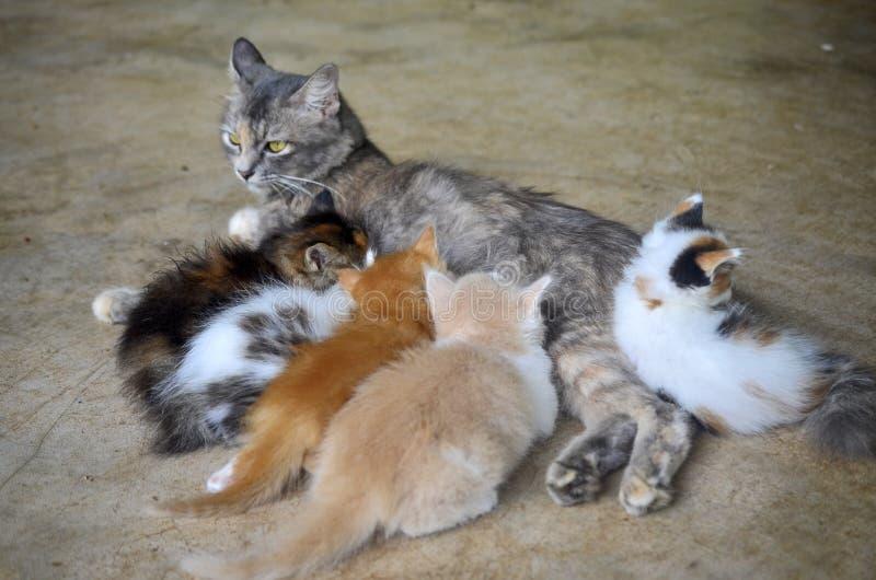 分泌乳汁的猫孩子 库存图片