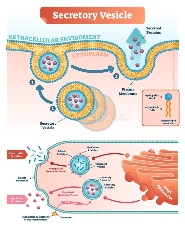 分泌泡传染媒介例证 被标记的特写镜头infographic计划 皇族释放例证