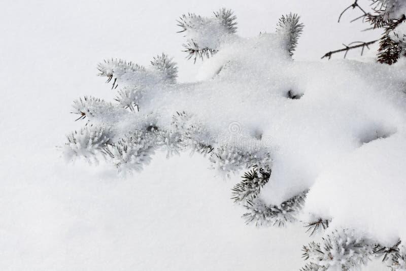 分行冷杉木雪冬天 图库摄影