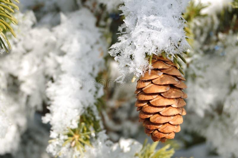 分行包括霜云杉的结构树 免版税图库摄影
