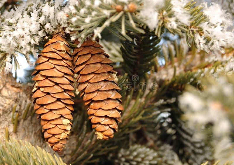 分行包括霜云杉的结构树 免版税库存照片