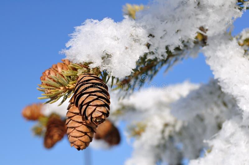 分行包括霜云杉的结构树 免版税库存图片