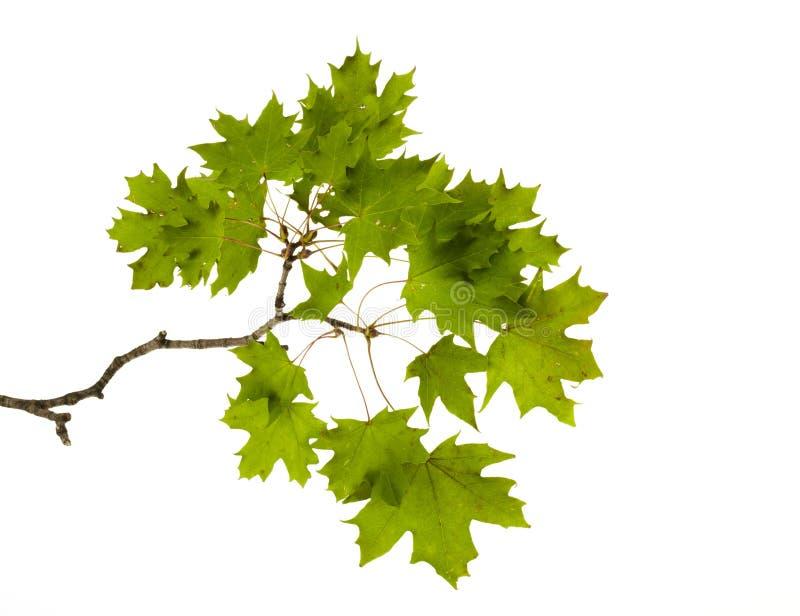 分行小的槭树 免版税库存图片