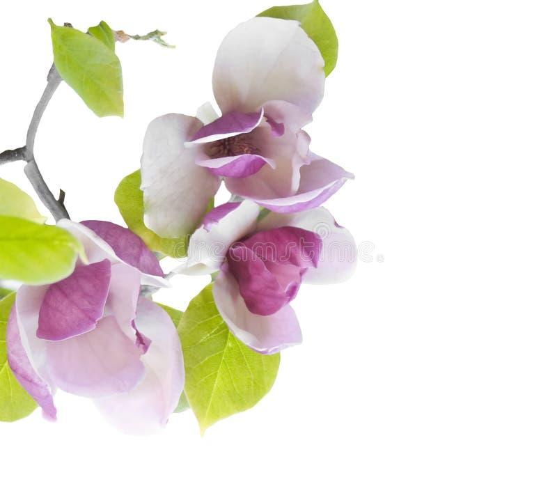 分行开花的木兰 免版税库存照片