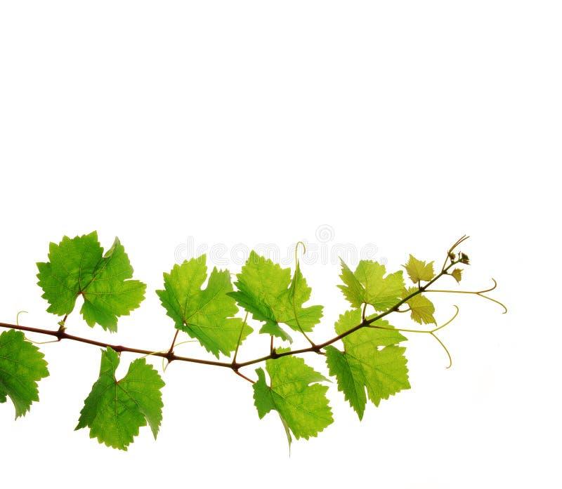 分行新鲜的葡萄树 库存图片