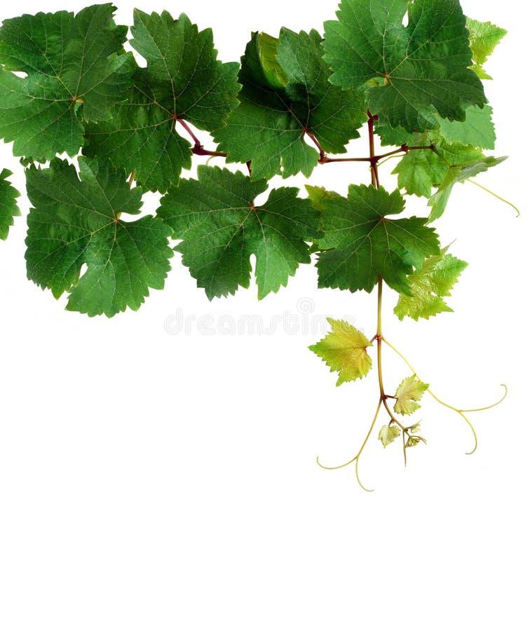 分行新鲜的葡萄树 免版税库存图片