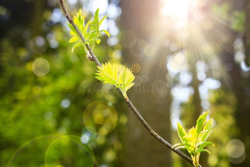 分行明亮的开花的绿色本质春天结构树 背景蒲公英充分的草甸春天黄色 绿色植物和叶子以阳光为背景 光束在绿色森林里 图库摄影