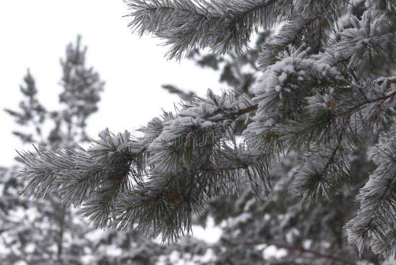 分行杉木冬天 图库摄影