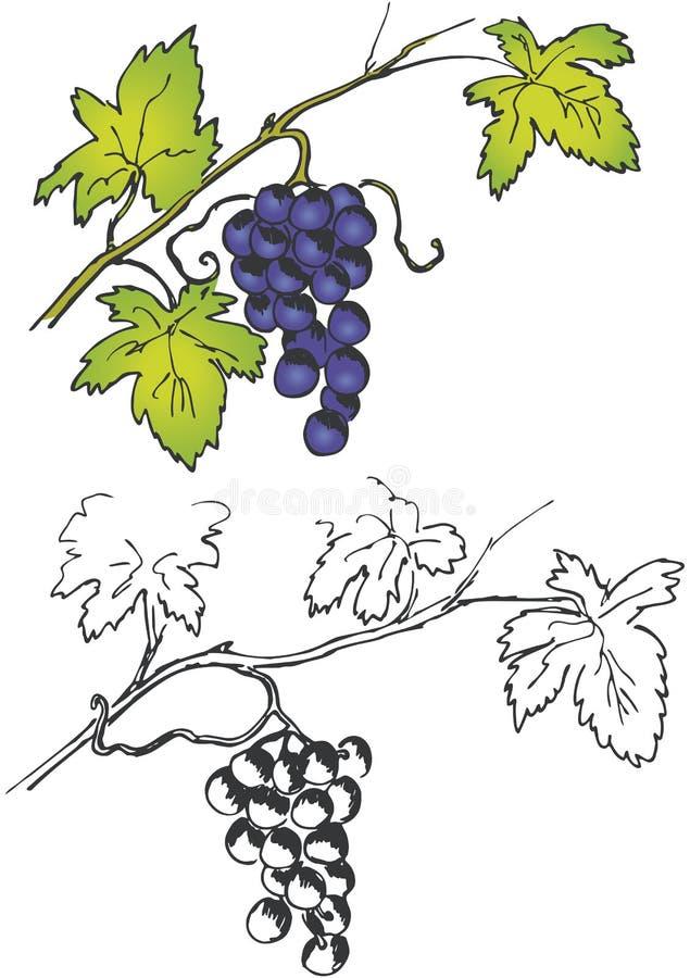 分行束葡萄 向量例证
