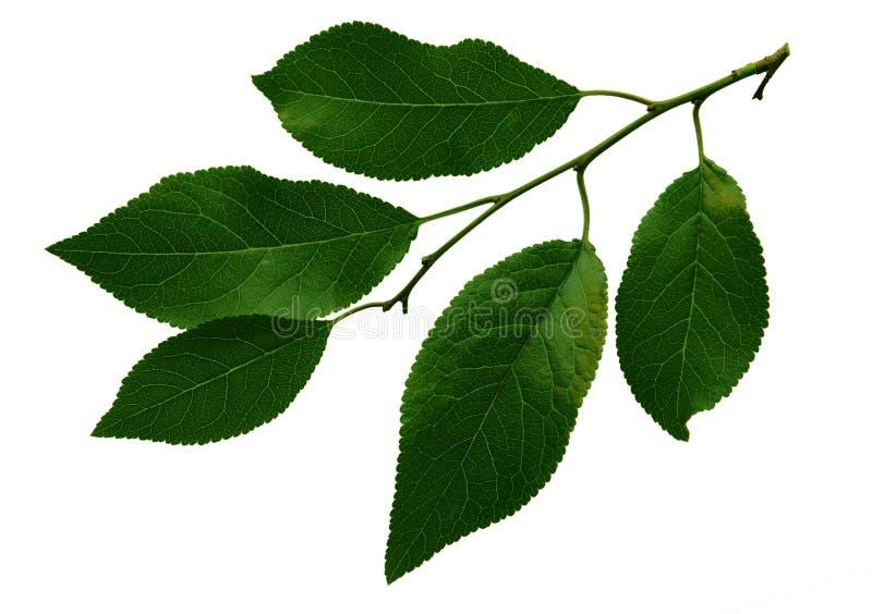分行樱桃绿色叶子 免版税库存照片