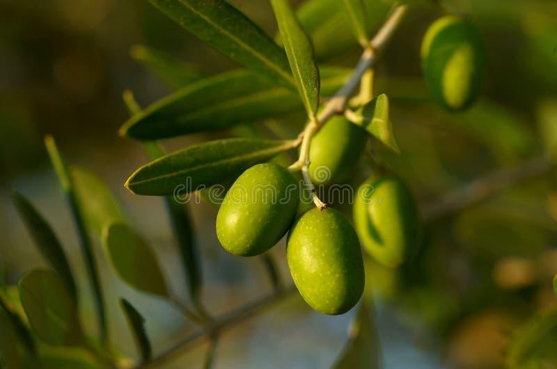 分行橄榄树 免版税库存照片