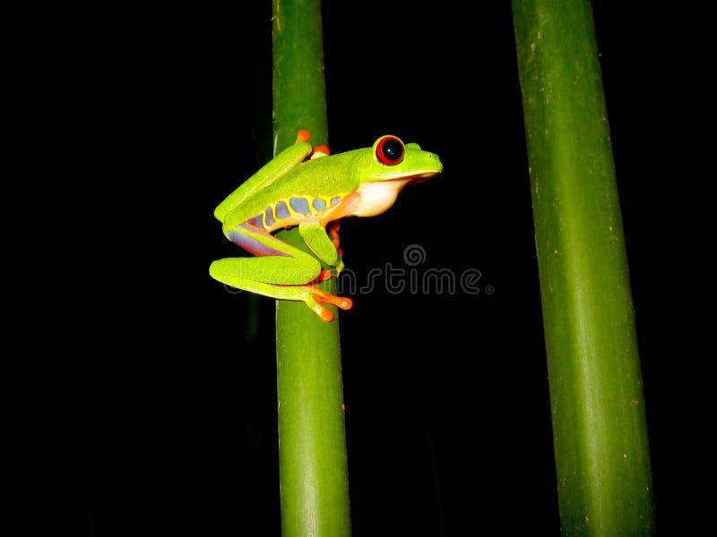 分行注视青蛙红色坐的结构树 库存图片