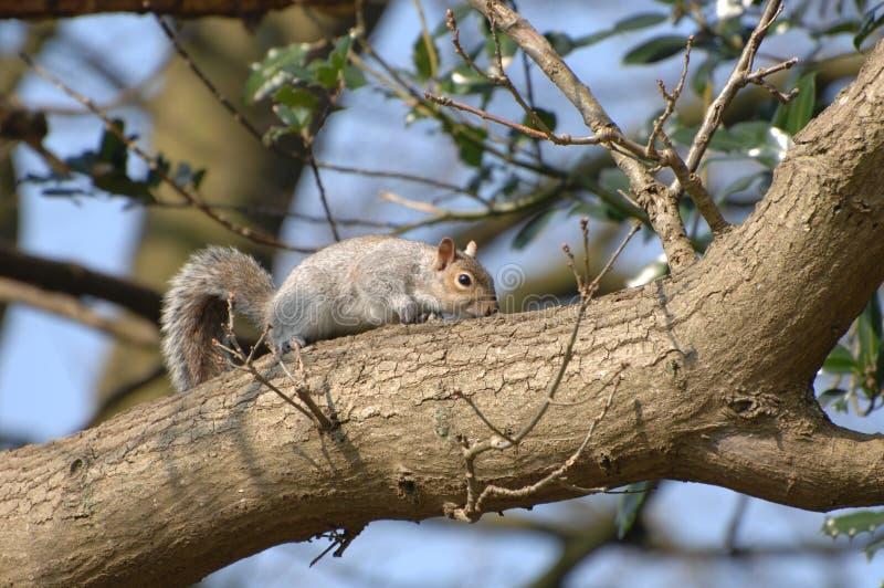 分行灰鼠结构树 库存照片