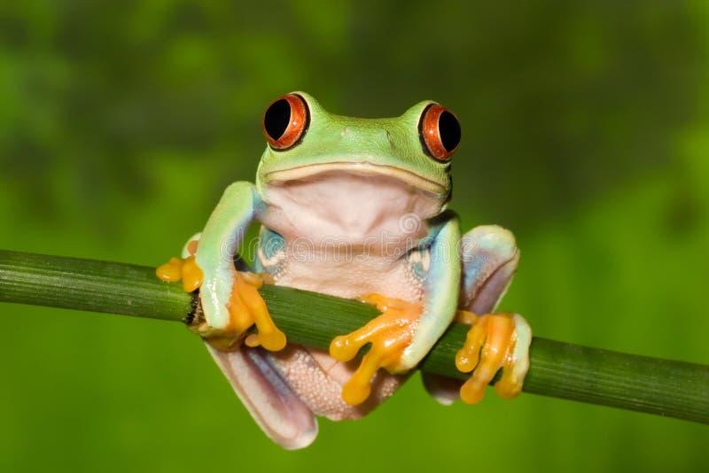 分行眼睛青蛙红色结构树 库存图片