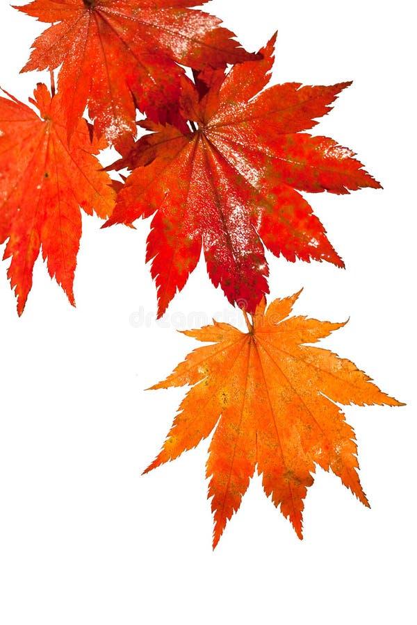 分行离开红色的雨弄湿的槭树 免版税库存照片