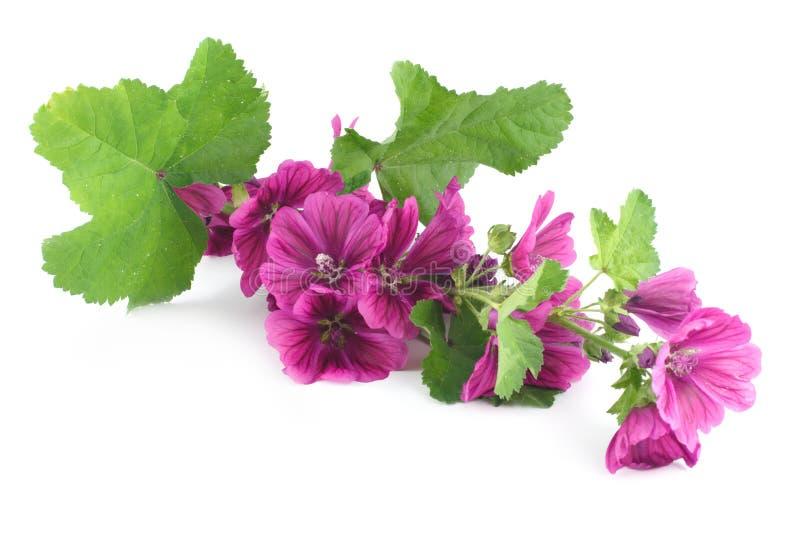 分行紫色冬葵 免版税库存图片