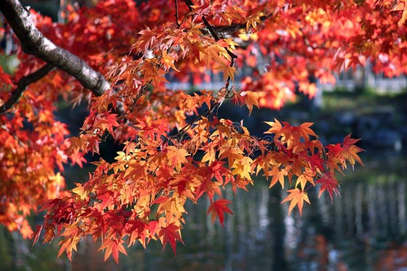 Download 分行红色 库存照片. 图片 包括有 自治权, 颜色, 叶茂盛, 秋天, 划分为, 季节性, 上色, 季节, 公园 - 50804