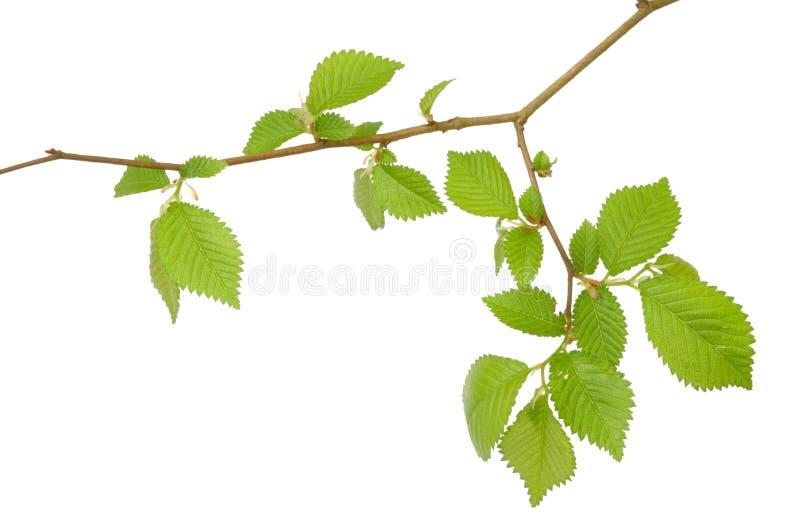 分行结构树 库存照片