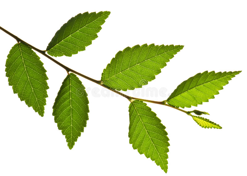 分行绿色叶子 库存照片