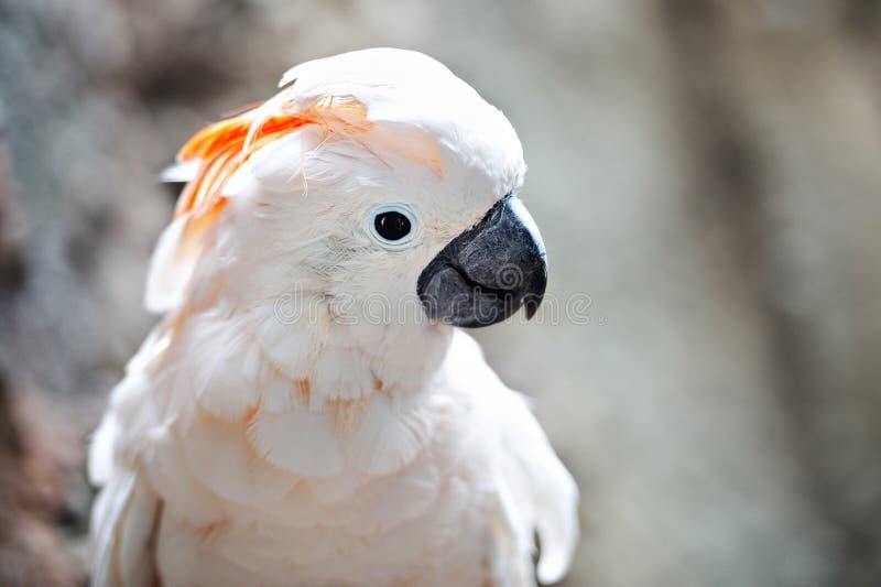 分行美冠鹦鹉有顶饰橙色白色 免版税图库摄影
