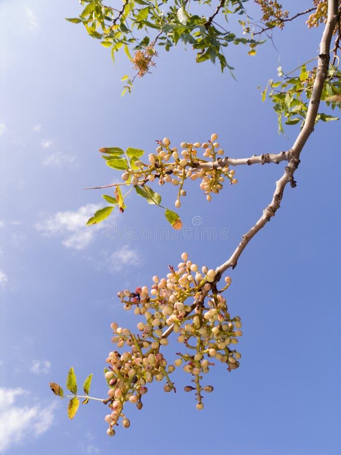 分行阿月浑子树 免版税库存图片