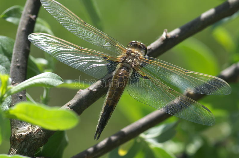 分行蜻蜓libellula ramo su 库存图片