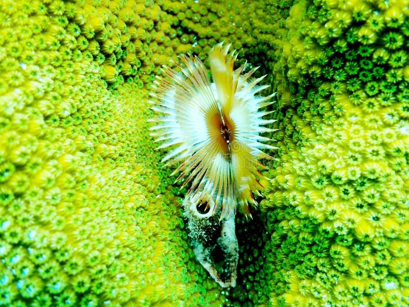 分裂冠羽毛喷粉器在博内尔岛 免版税库存照片
