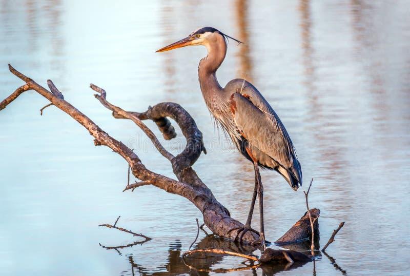 切塞皮克湾伟大蓝色的苍鹭的巢渔在池塘 图库摄影