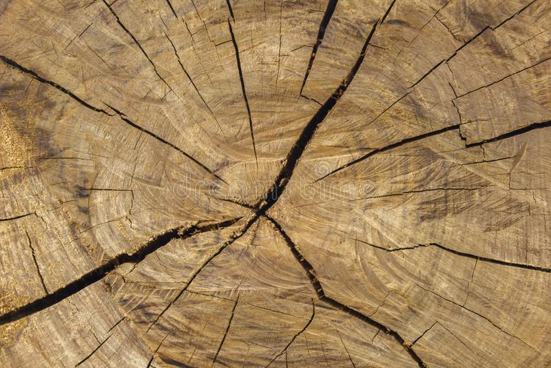 切开与大镇压的一个灰色黄色干燥圆的树干 自然表面纹理 免版税图库摄影